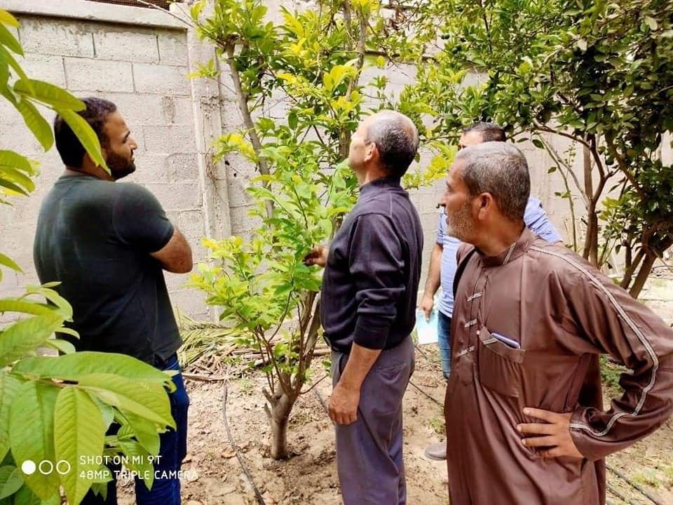 مزارع الحمضيات في غزة