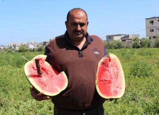 بطيخ غزة