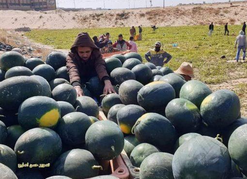 فائدة قشر البطيخ